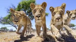 Dingen mollen met leeuwen